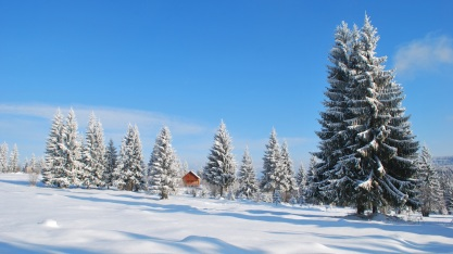 winter-snow-covered-spruces